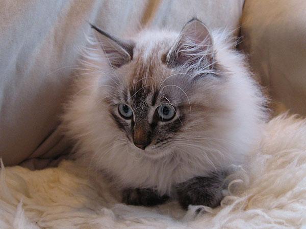 Siberian kitten Ollie at 14 wks old, 10 Aug 2017