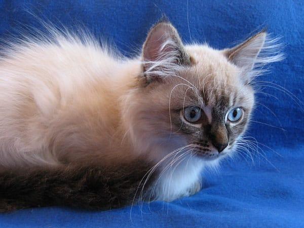 Siberian kitten Obi at 15 weeks old, 11 Aug 2017