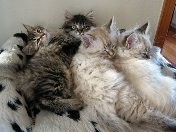 Siberian kittens from the N and O Litters, 29 June 2017