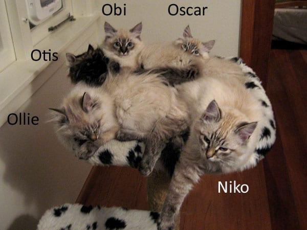 Five sleepy Siberian kittens, 5 Aug 2017