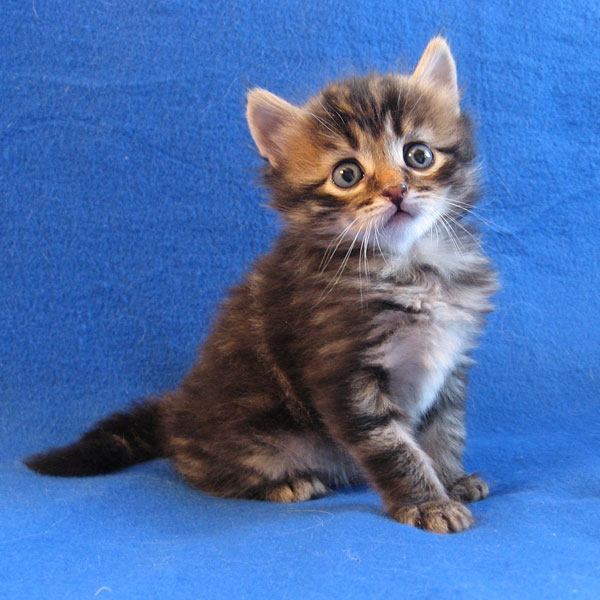 Siberian kitten Pico at 4 weeks old, 21 Aug 2017