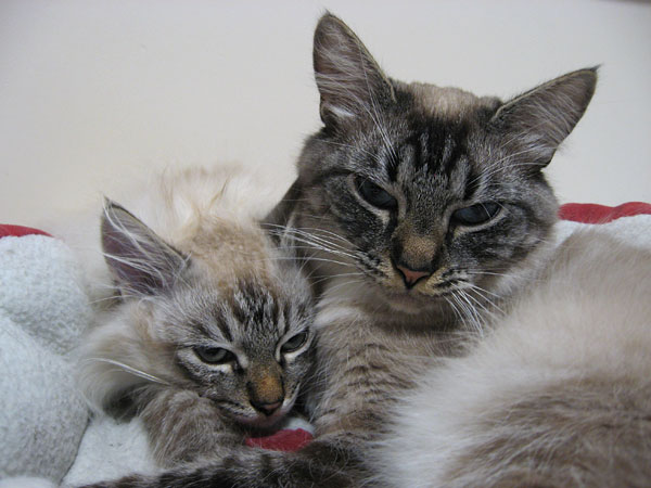 Siberian cat Ksana at almost 2 years old, with her 17-week-old kitten Ollie, 29 Aug 2017