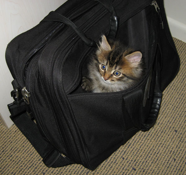 7-week-old Pico climbs into a computer bag