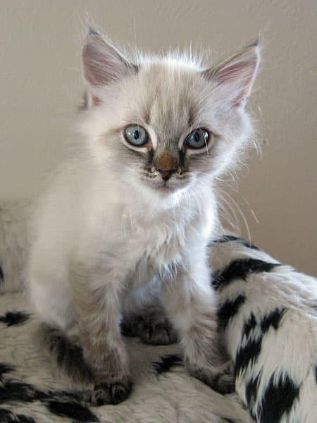 Siberian kitten Quincy