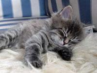 Siberian kitten Gracie