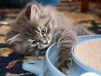 Siberian kitten Fitzy