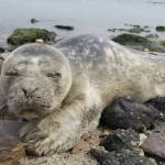 A harbour seal pup