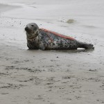 Injured seal with fishing rope wrapped around neck.