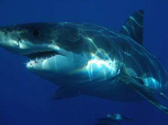 Volunteer: A close up of a great white shark