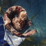 A baby shark with brown stripes is curled up on a gloved hand underwater.