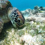Seagrass in an important feeding ground for turtles.