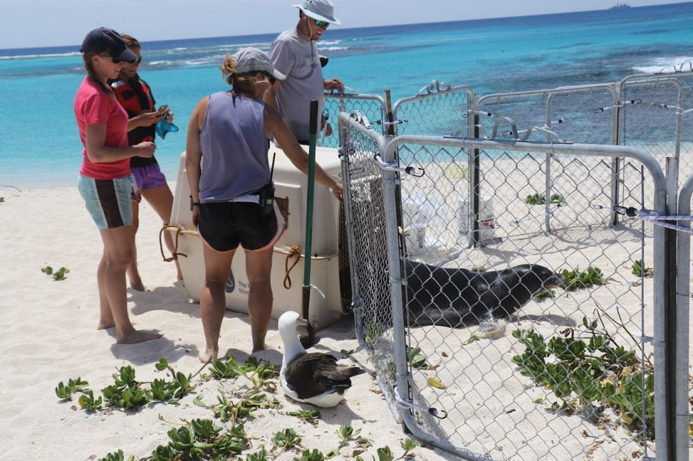 Injured seal being released