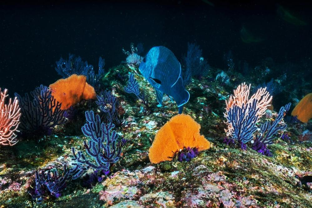 Blue and orange sea fans