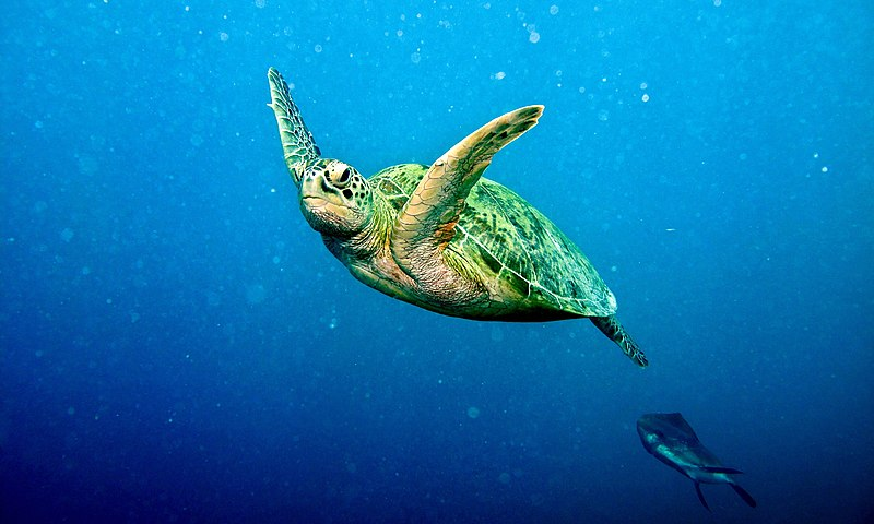 Green_Turtle - Bernard Dupont