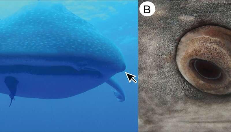 Whaleshark eye teeth