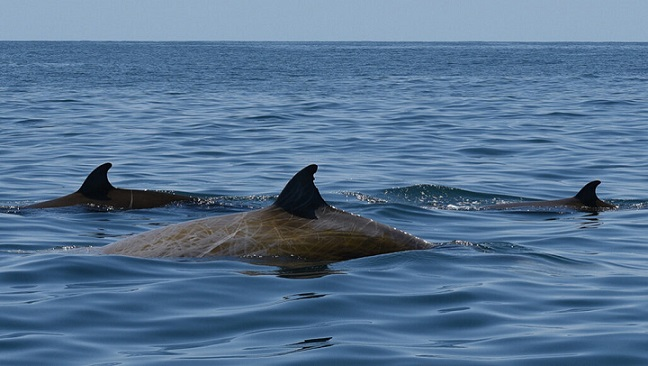 Cuvier's beaked whale - DANIELLE WAPLES