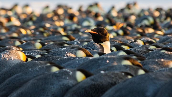 emperor penguin in a huddle - LARS LEHNERT