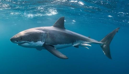 great white shark - Alastair Pollock