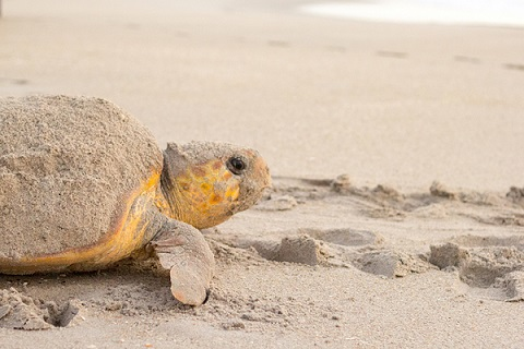loggerhead turtle - Gustavo Stahelin