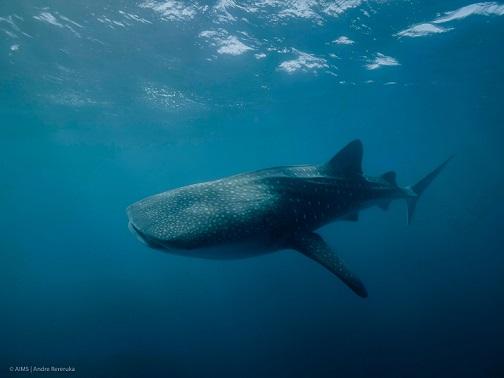 whale shark - Andre Rereuka