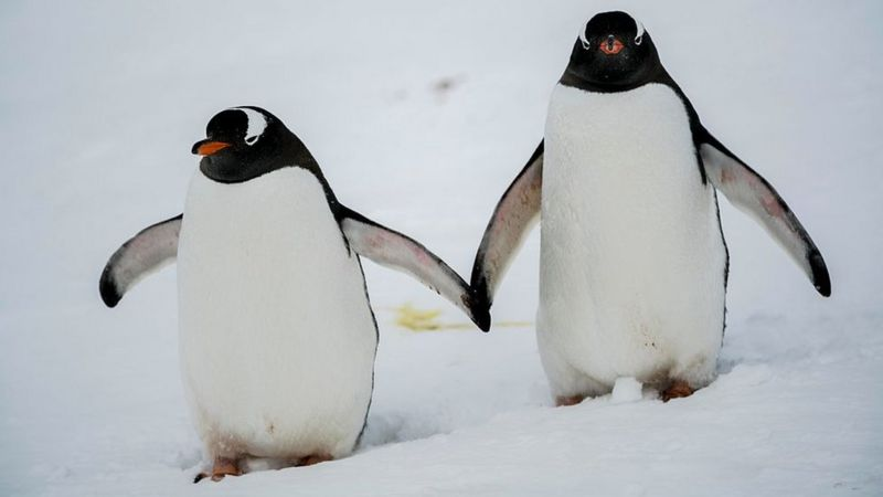 Gentoo penguins - gettyimages