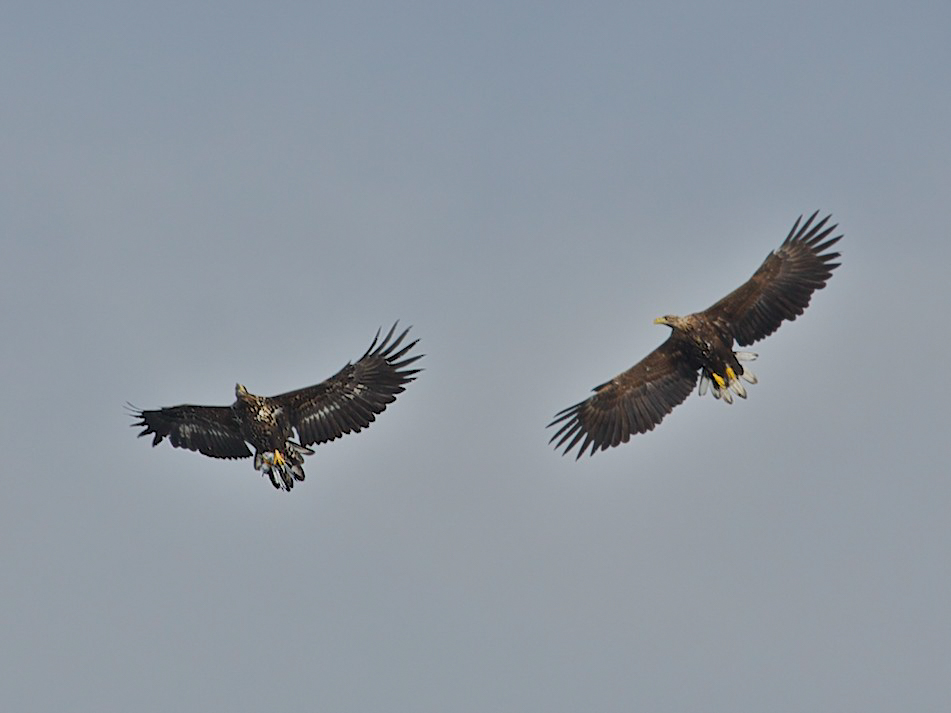 Two sea eagles flying over us