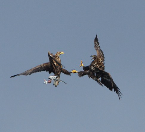two white tailed eagles clasp claws above wildlife watching trip in Scotland
