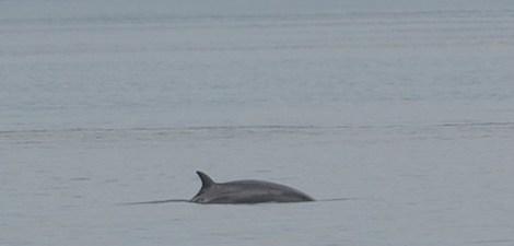 minke whale watching on boat trip in Scotland