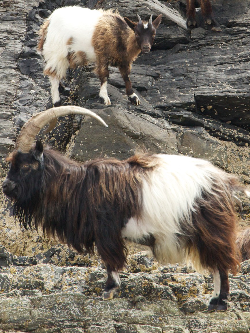 Feral goat and its baby spotted on wildlife trip in Scotland
