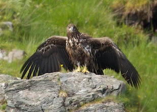 Sealife Adventures white tailed eagle fledgling trying to fly