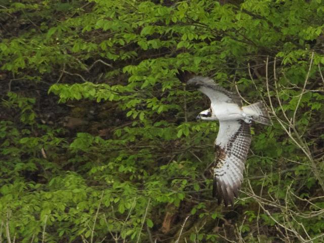 osprey 2