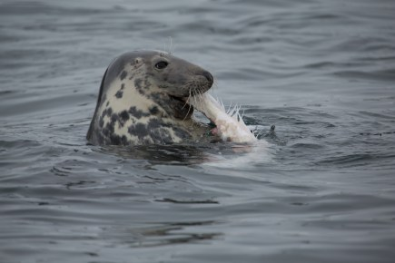 Grey seal rips apart a big fish seen on a boat trip near Oban