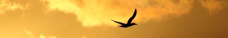 Seabird flying across sunset