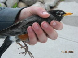 rescued robin 2012