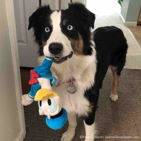 dog holding Donald duck toy