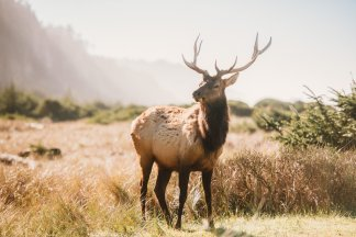 California Elk