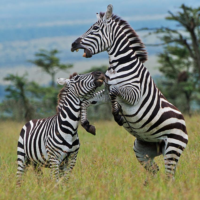 zebras_fighting_4.jpg