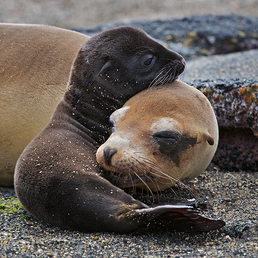 Image result for galapagos sea lions