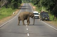 Elephant crossing the road, Sri Lanka