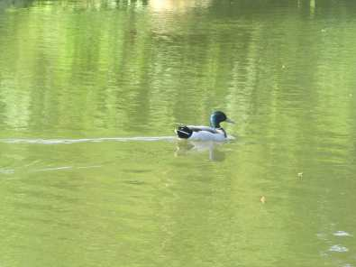 Sometimes there is only one duck.