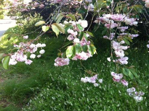 More cherry blossoms!