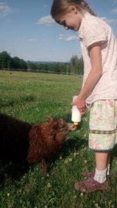 bottle_feeding_sheep