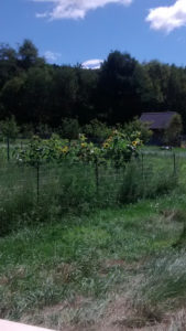 sunflowers-at-a-disance