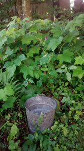 bucket in thimbleberry