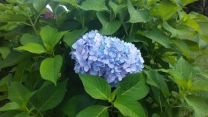 blue_hydrangea