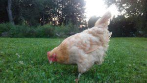old_chicken