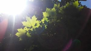 sunlit-maple-tree