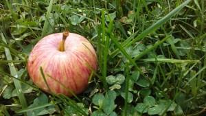 fallen_apple