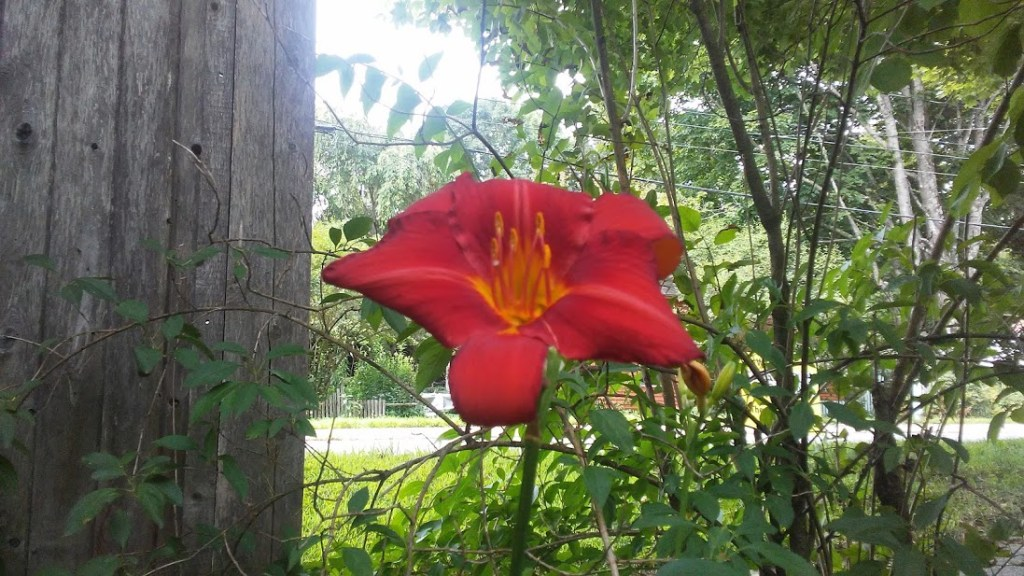 red lily paradox of desire