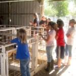 Lambs & Pigs